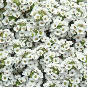 alyssum-clear-crystal-white[1]