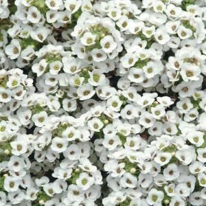 alyssum-clear-crystal-white[1]