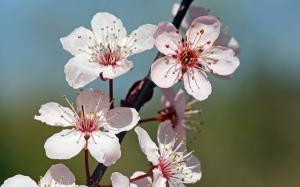 Cherry-Blossom-sprig1[1]