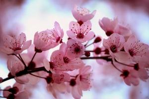 Cherry_Blossom[1]