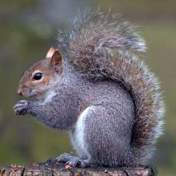 squirrels-as-pets1[1]