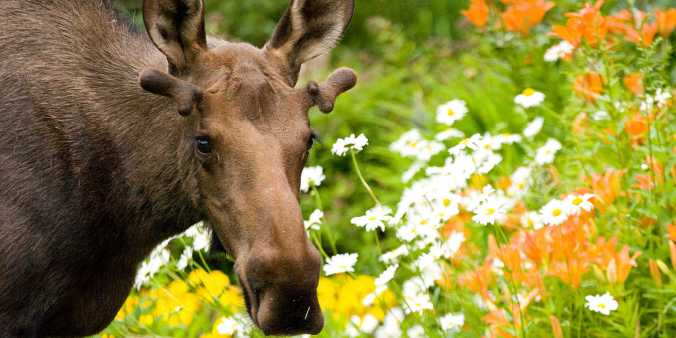 flower%20moose%20-%20wayde%20carroll_dee44168-9be4-45b3-879d-42d0ab12ba871