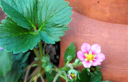 strawberries-with-pink-flower1