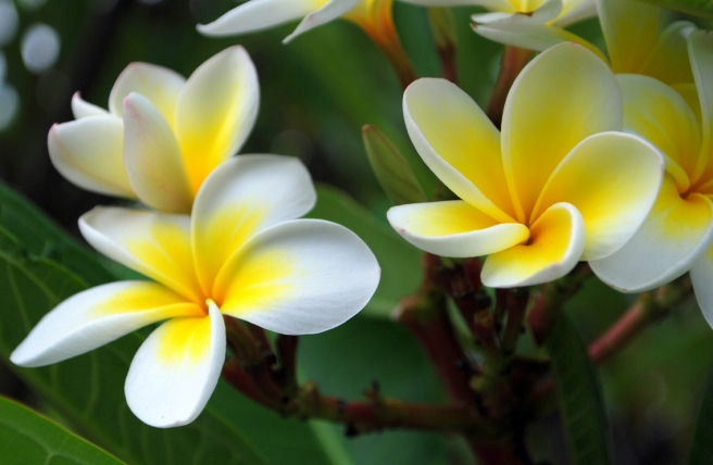 Frangipani_flowers[1]