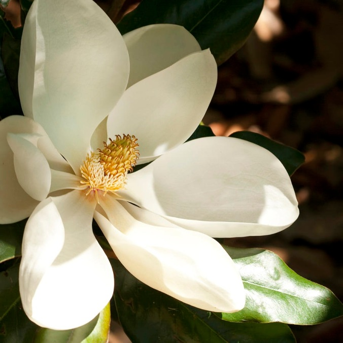 southern-magnolia-blossom-in-the-shadows-kathy-clark[1]