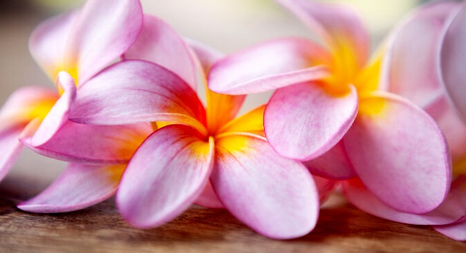 Close up of pink frangipani