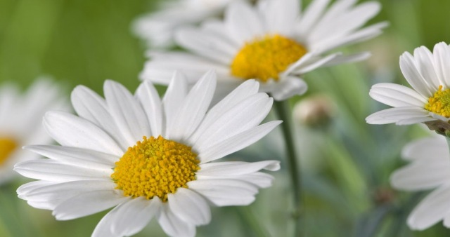 1280-161725811-field-of-daisy-flowers[1]