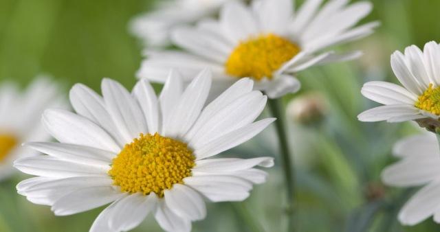 1280-161725811-field-of-daisy-flowers[1]
